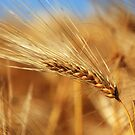 Corn of Wheat by Tom Prokop