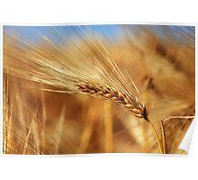 Corn of Wheat Poster
