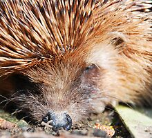 Hedgehog waking up from his winter nap by Michael Brewer