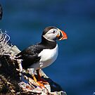 Along came a Puffin by Jennifer Finn