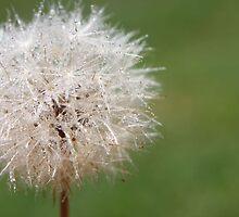Dandelion. by Rhys Davis