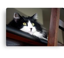 Buddy - Tuxedo Maine Coon Cat | Bellport, New York  Canvas Print