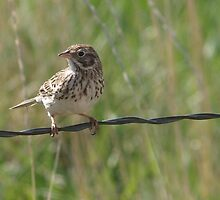Young Vesper Sparrow by Barb Miller