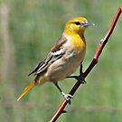 Yellow Bird by Barb Miller