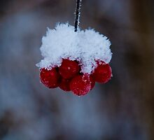 Winter berry by Caroline Brewer
