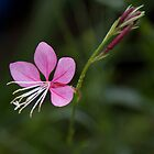 Compact Pink Gaura by Deborah McGrath