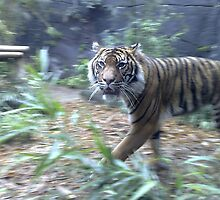 Pacing Tiger  by NatalieMei