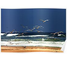 Crested Tern Flock at Airforce Beach Poster