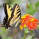 Sensational Swallowtail by rasnidreamer