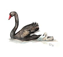 Black Swan and Baby Photographic Print