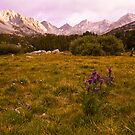 Lupine, Little Lakes Valley by Justin Mair