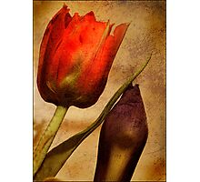 Textured Tulip Photographic Print