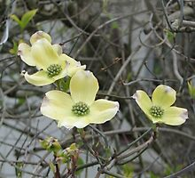 Dogwood Blooms 1 by art2plunder