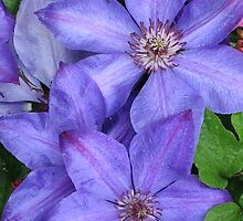 Purple Clematis by art2plunder