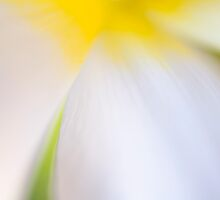 White Tulip Detail by Silke Magino