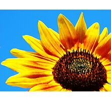 Sunflower against a blue sky Photographic Print