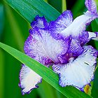 Iris by Jim Terry
