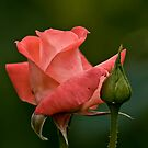 Coral Rose - Ottawa, Ontario - 3 by Michael Cummings