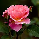 Pink Rose - Ottawa, Ontario by Michael Cummings