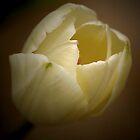 Tulip by Cindy McDonald