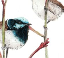 Superb Blue Wren Pair Sticker