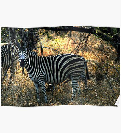 Zebra in Kruger Poster