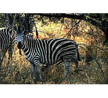 Zebra in Kruger Photographic Print