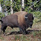Yellowstone Royalty by Don Despain