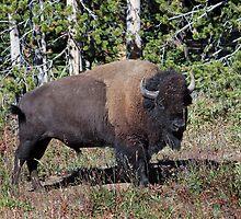 Yellowstone Royalty by Rekindle