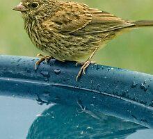 Vesper Sparrow at Birdbath by TeresaB