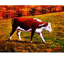Cow in the Autumn Pasture Photographic Print