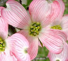 Salmon Dogwood by art2plunder
