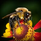Honey Bee by (Tallow) Dave  Van de Laar