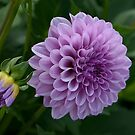 Purple Dahlia by JHRphotoART