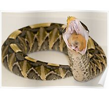 Gaboon Viper eating a hamster Poster