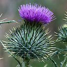 Milk Thistle by Pascal and Isabella Inard
