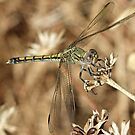 Dragonfly at rest by Rick Playle