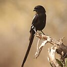 Long Tailed Shrike by Jo McGowan
