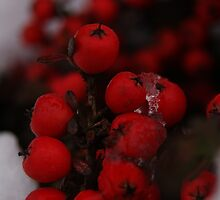 Wild Berries-1 by Abhijeet Basu