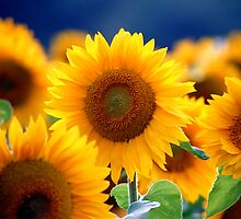 Sunflowers by Peter Voerman