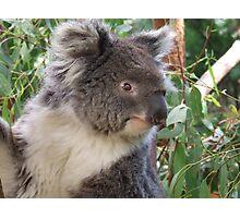 Mr Koala Photographic Print