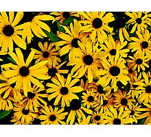 Field of Black-Eyed Susans Photographic Print
