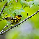 Cape May Warbler -  Ottawa, Ontario by Michael Cummings