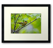 Cape May Warbler -  Ottawa, Ontario Framed Print