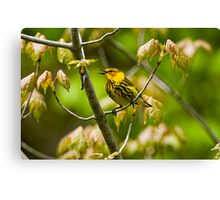 Cape May Warbler -  Ottawa, Ontario - 2 Canvas Print