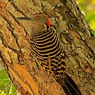 Hispaniolan Woodpecker by Robert Abraham