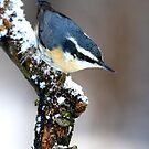 Red-breasted Nuthatch by Jim Cumming
