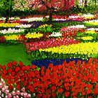 Spectacular Netherlands Tulips Garden by gilbertlamm