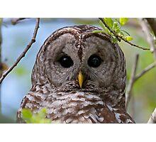 Barred Owl at McGregor Marsh Photographic Print