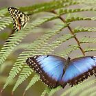 Blue Butterfly by Lindie